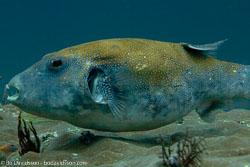 BD-111121-Raja-Ampat-4943-Arothron-caeruleopunctatus.-Matsuura.-1994-[Blue-spotted-puffer].jpg